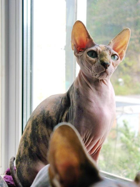 Сколько живет сфинкс кот
