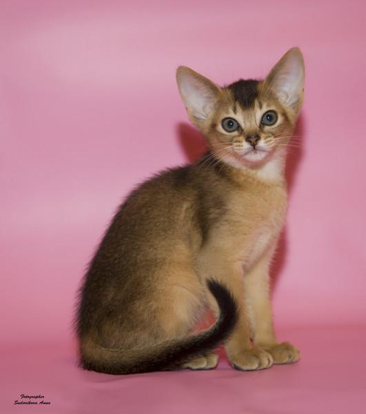 Абиссинские котята дикого окраса, волгоград