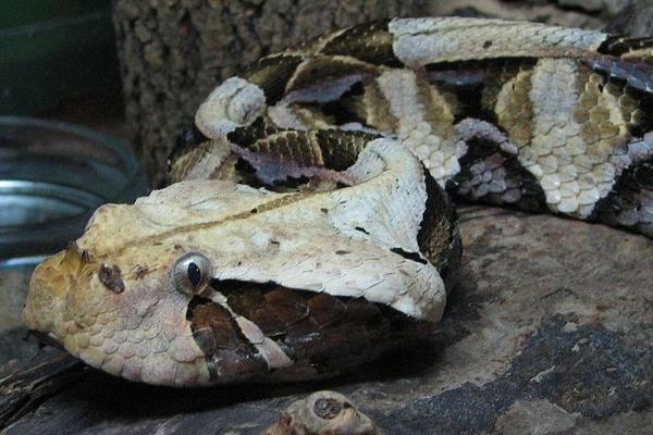 Сумасшедшая Зоология - Габонская гадюка