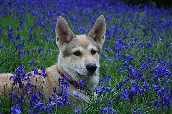 Топ-10 самых красивых пород собак - китайская
