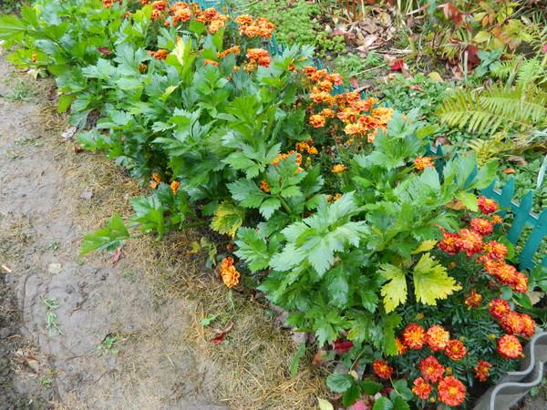 Какие цветы сажать возле капусты 63
