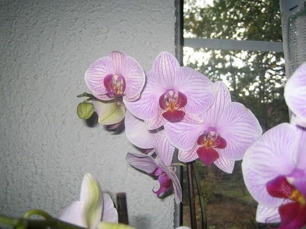 ���� Phalaenopsis Washington