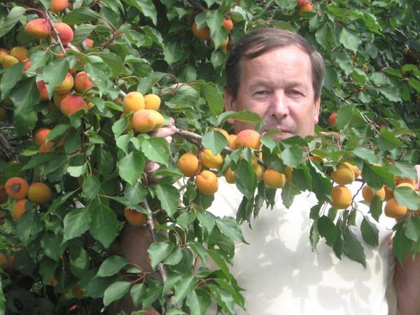Выращивание абрикосов в сибири 369