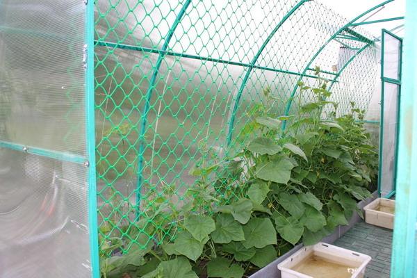 Использование сетки в выращивании огурцов 92