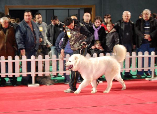 Грузинская горная, или грузинская пастушья собака, или грузинская овчарка I-314