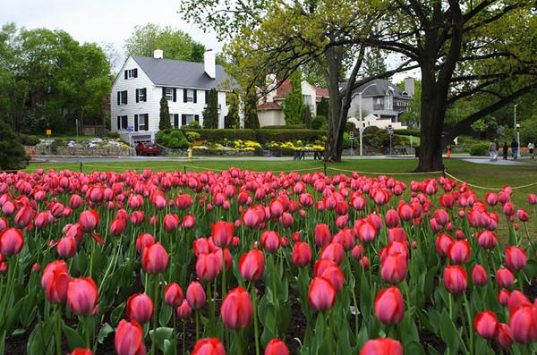 Канадский фестиваль тюльпанов I-322