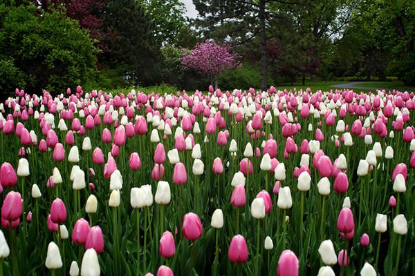 Канадский фестиваль тюльпанов I-323