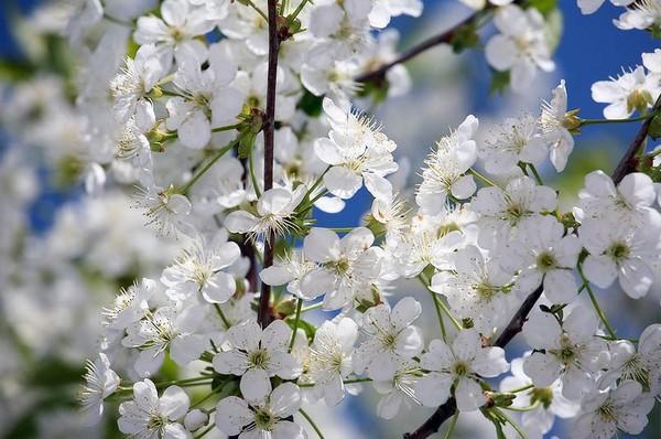 Весенние цветы I-436