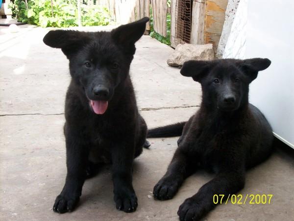 Чёрные щенки немецкой овчарки