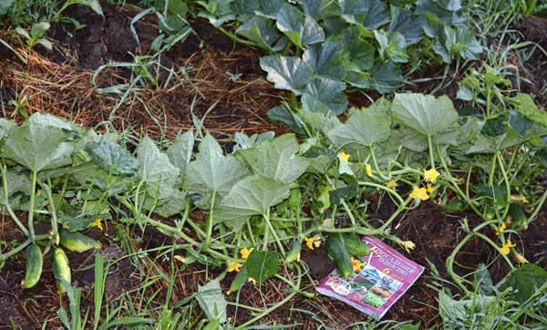 Огурцы выращивание секреты 76