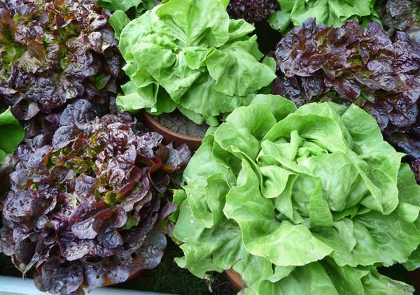 Как выращивать салат в домашних условиях 63