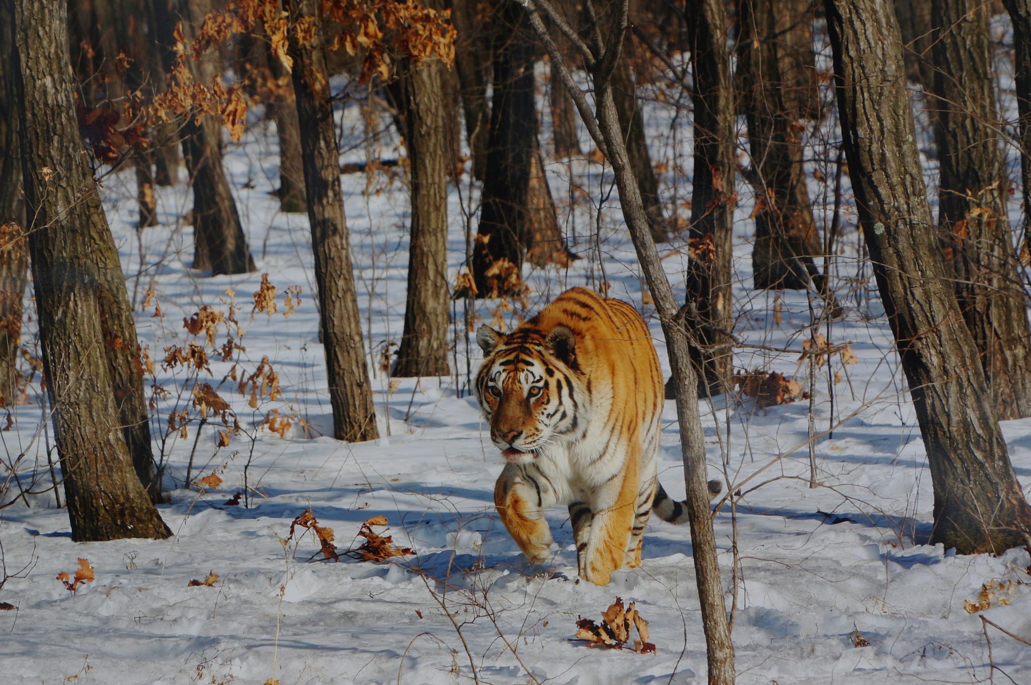 Амурский тигр. Выставка