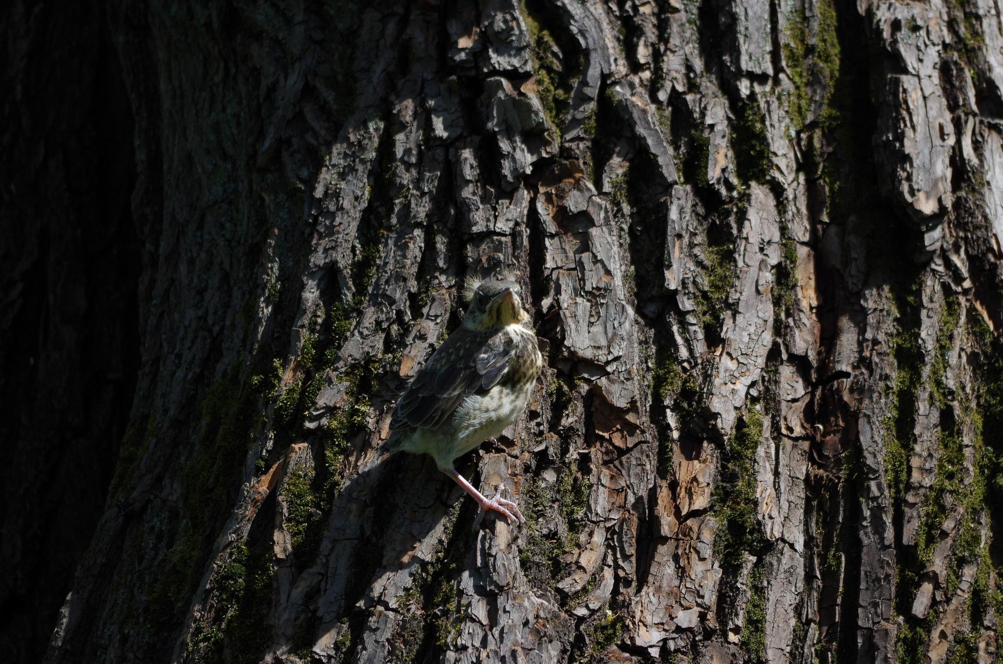 Птенец дрозда рябинника