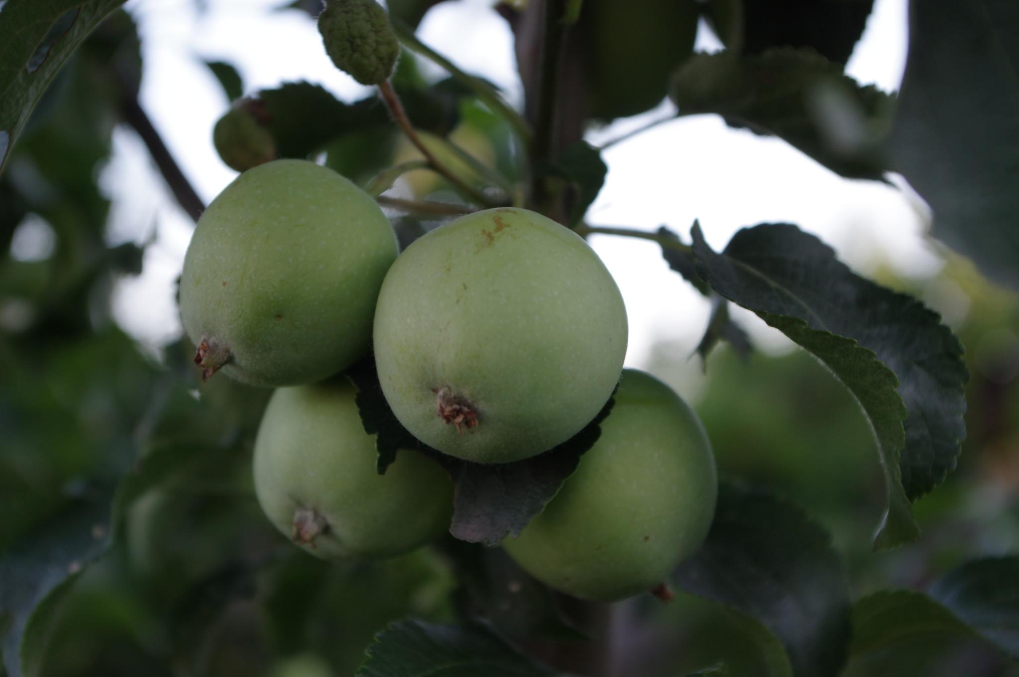 Яблоня (Malus)