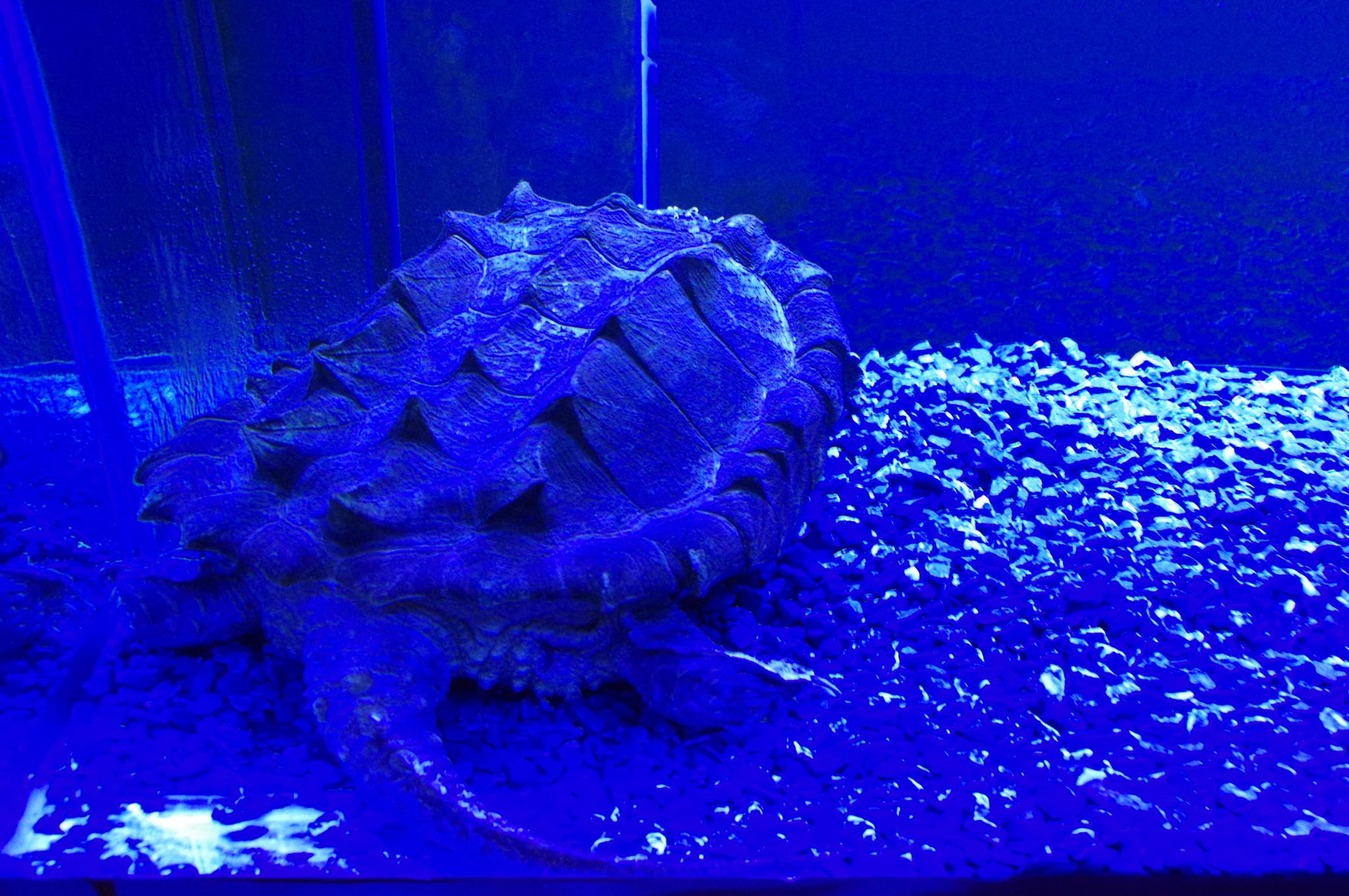 Грифовая, или аллигаторовая, кусающаяся черепаха (Macroclemys temminckii) - самая крупная из пресноводных черепах