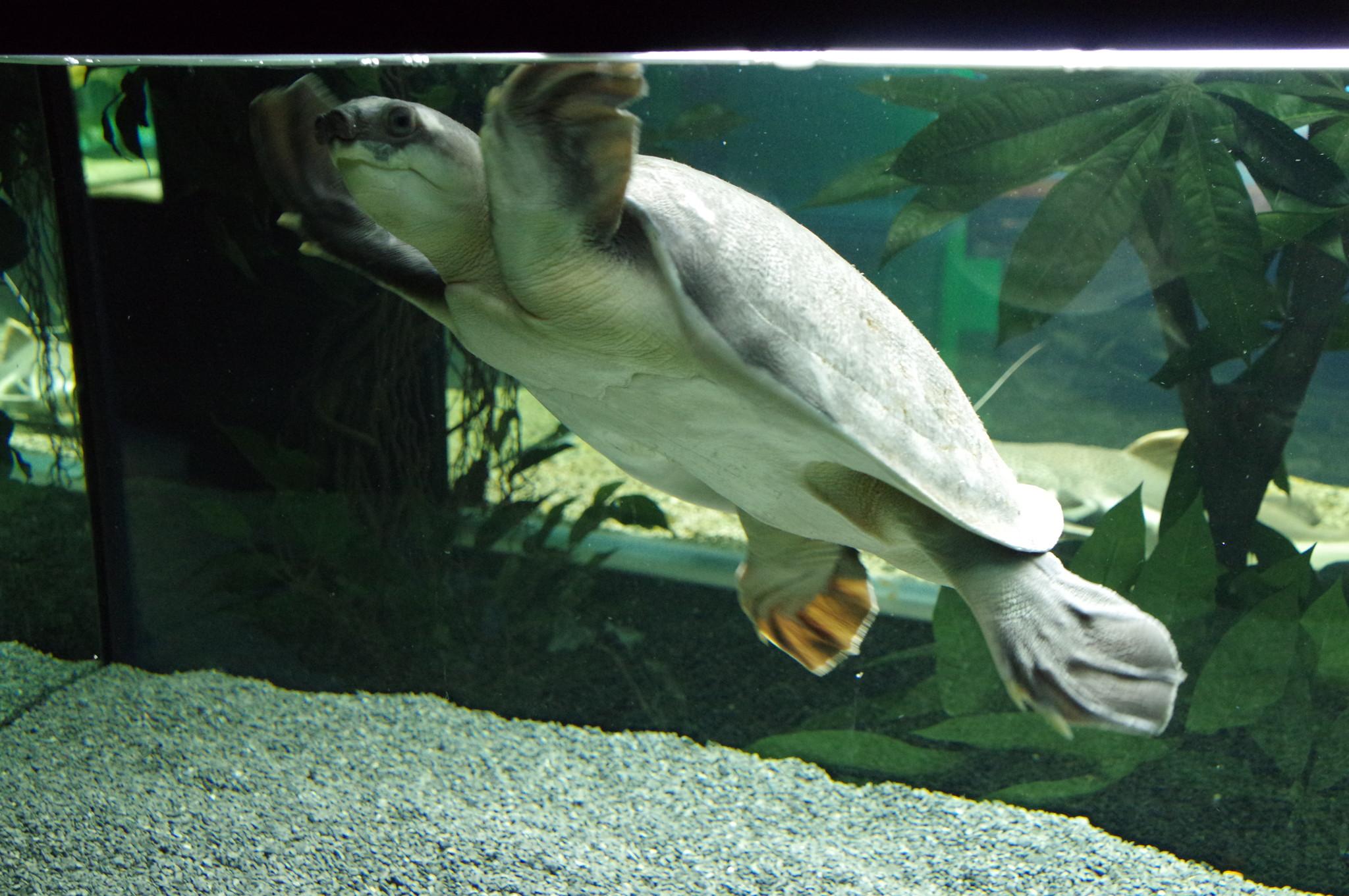Китайский трионикс (Pelodiscus sinensis) – пресноводная черепаха семейства мягкотелых черепах