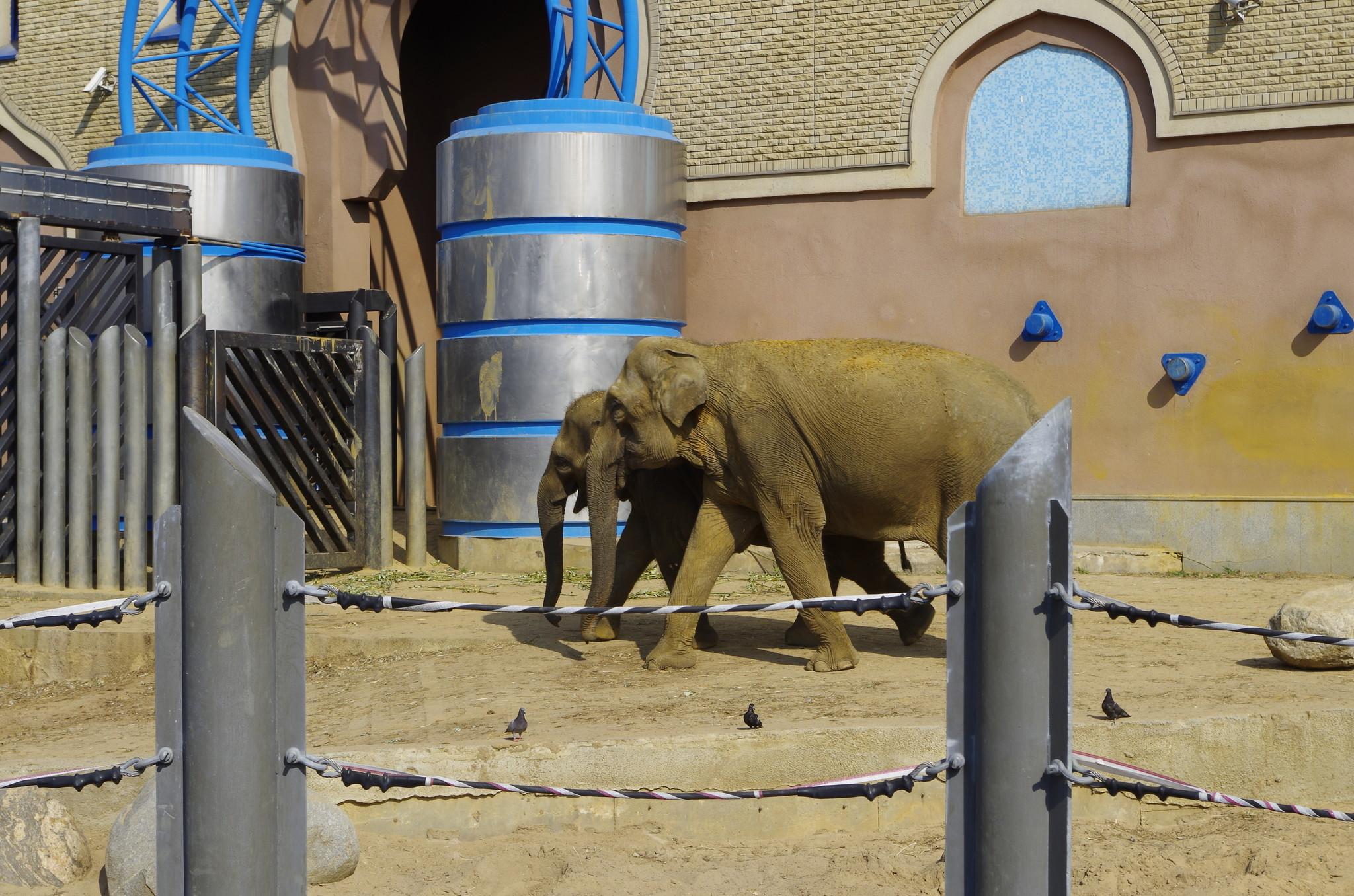 Азиатские слоны в Московском зоопарке