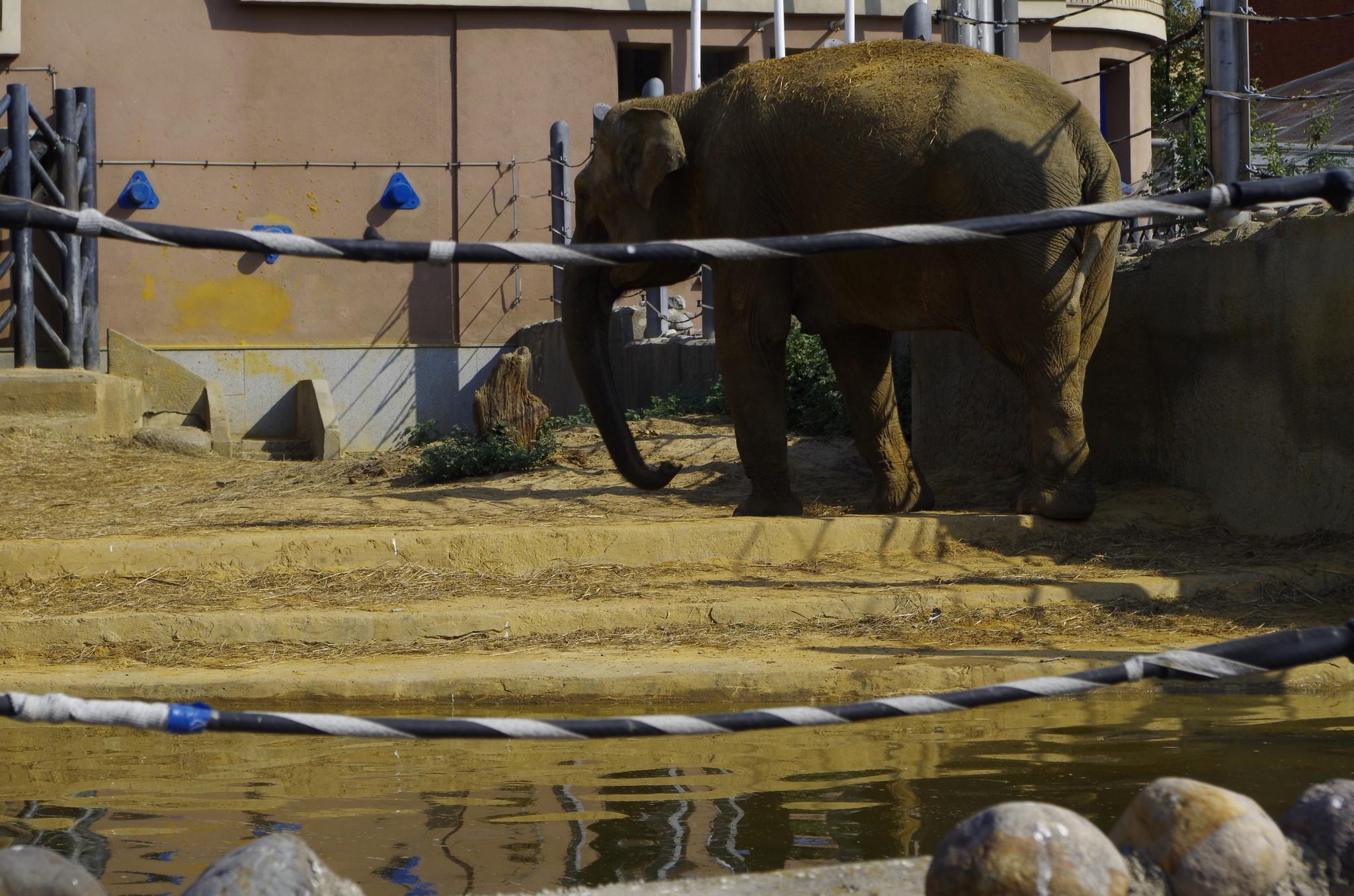 Азиатский слон в Московском зоопарке