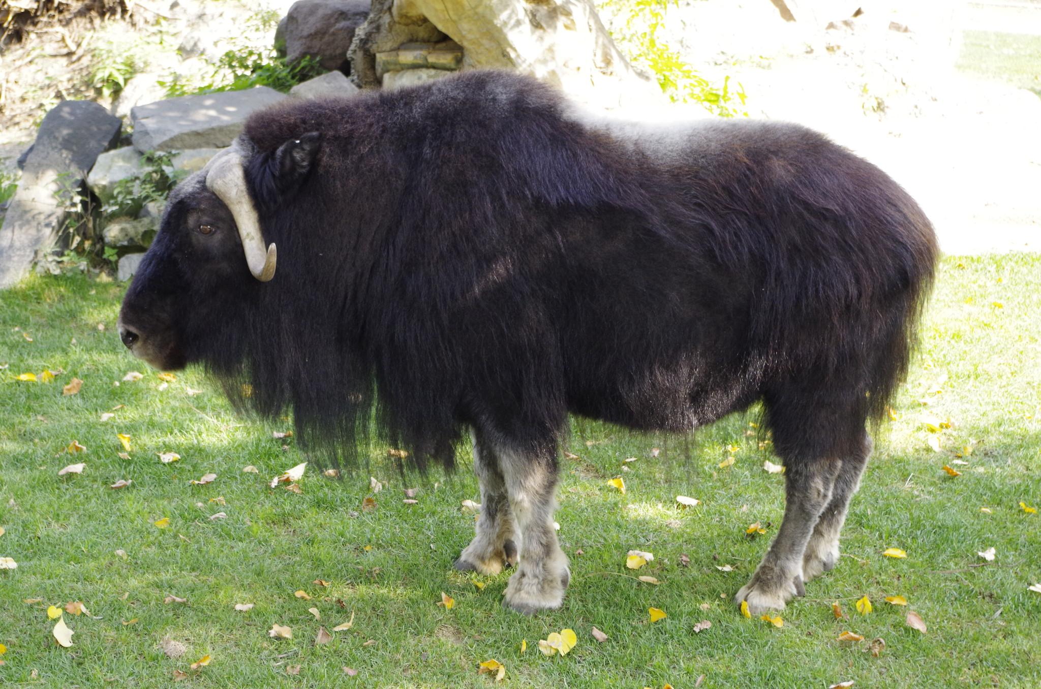 Овцебык, или мускусный бык (Ovibos moschatus)