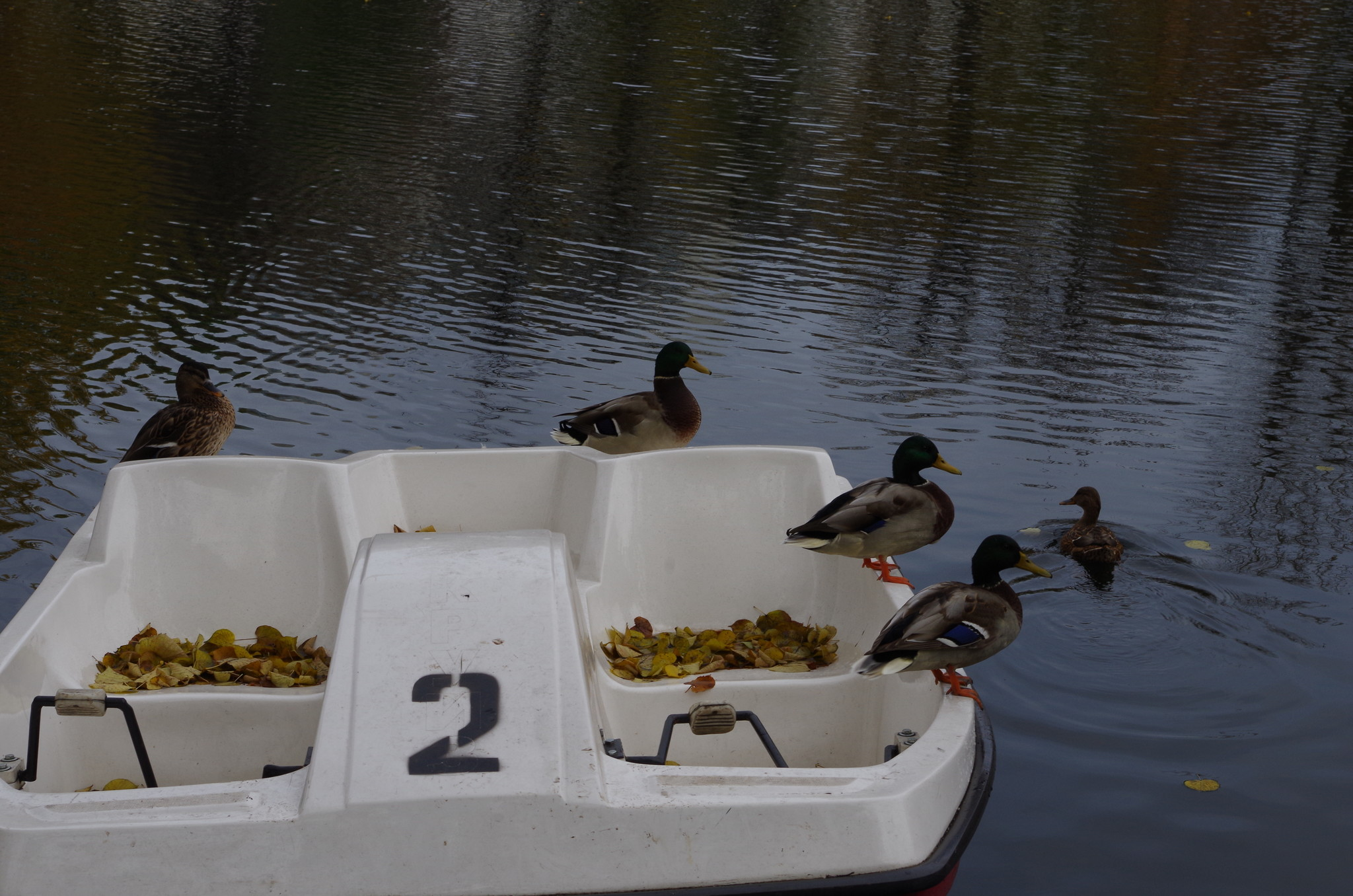 Кряквы на Чистых прудах
