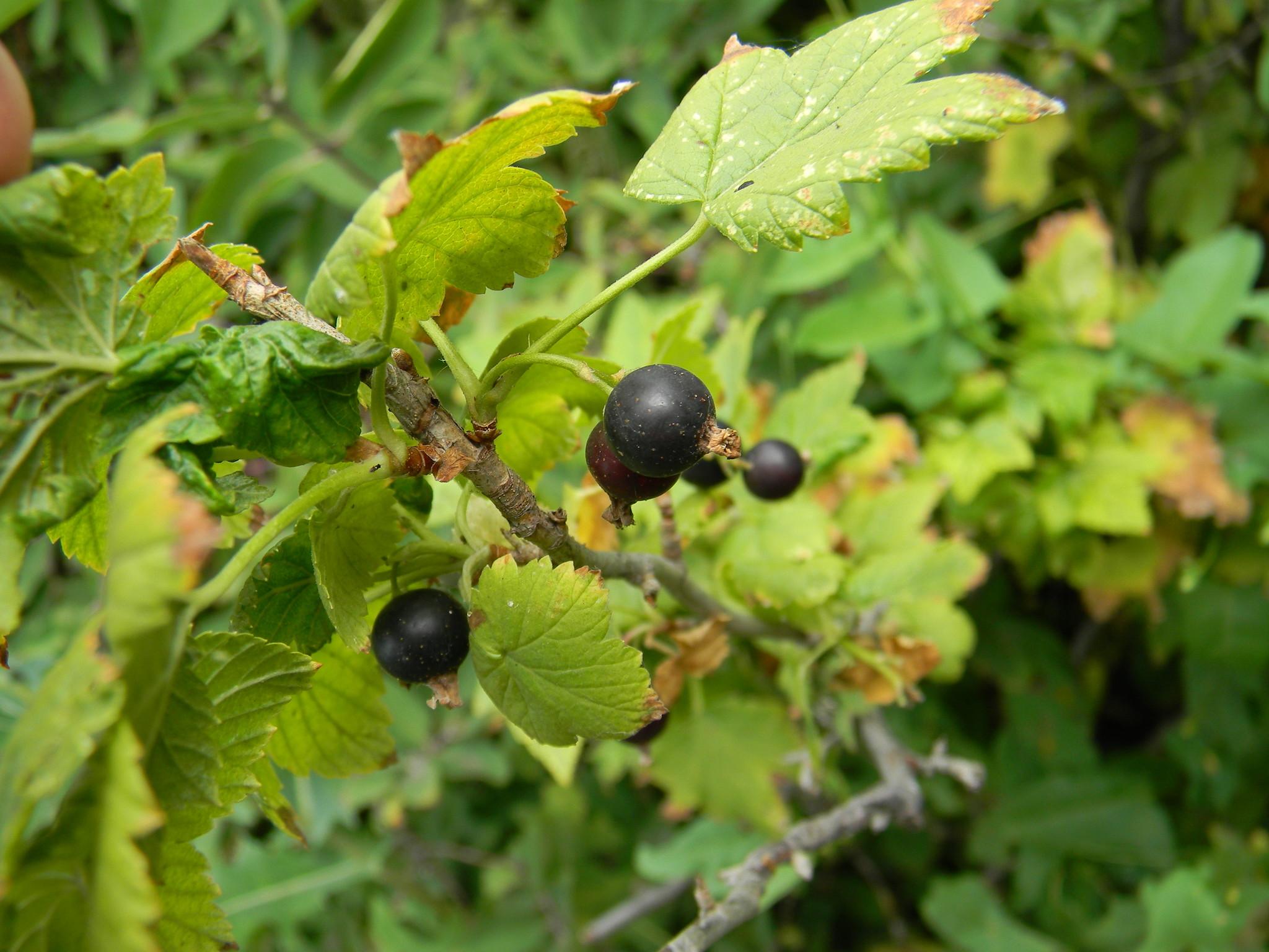 Чёрная смородина (Ribes nigrum)