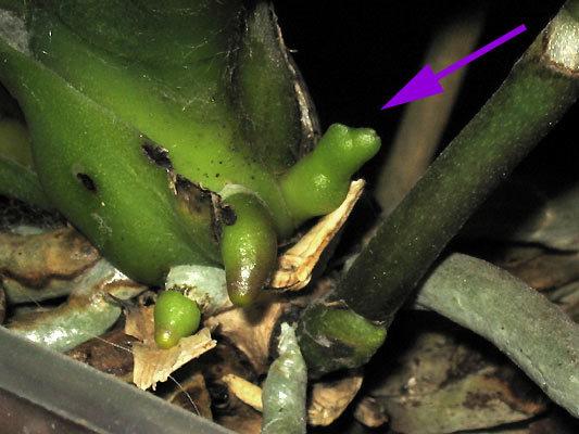 Как пускает цветонос орхидея