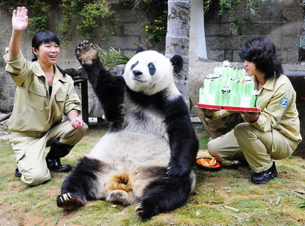 Член панды