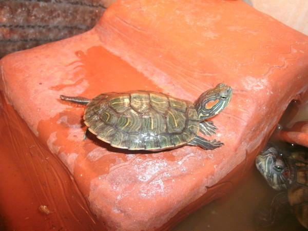 Уход за водяными черепахами красноухими в домашних условиях 795