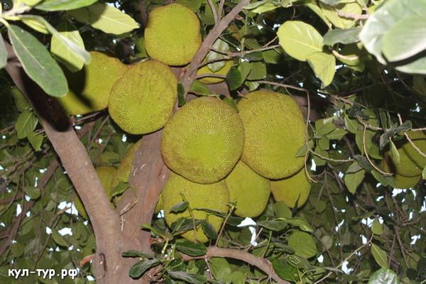 как растёт джекфрут