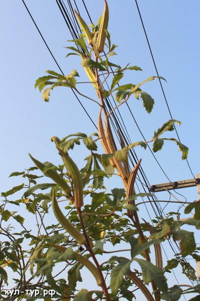 как растёт бамия
