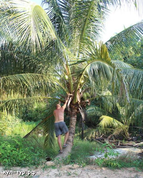 как сорвать кокос с пальмы