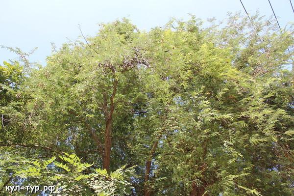 как растёт тамаринд