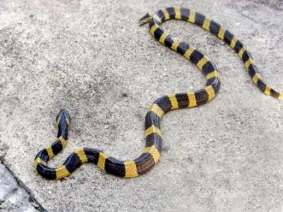 змеи в тайланде
