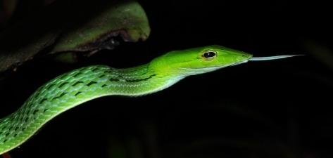змея из тайланда плетевидка не ядовитая змея