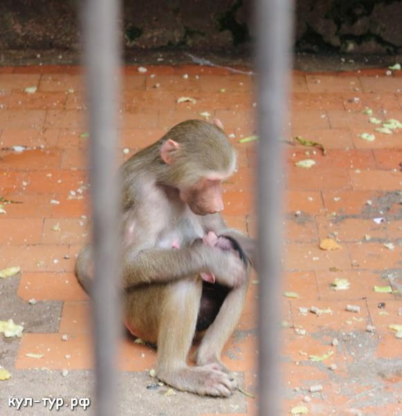 эксперименты над обезьянами