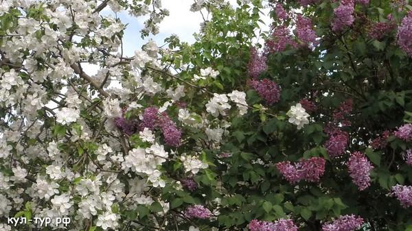 лето цветы яблоня сирень
