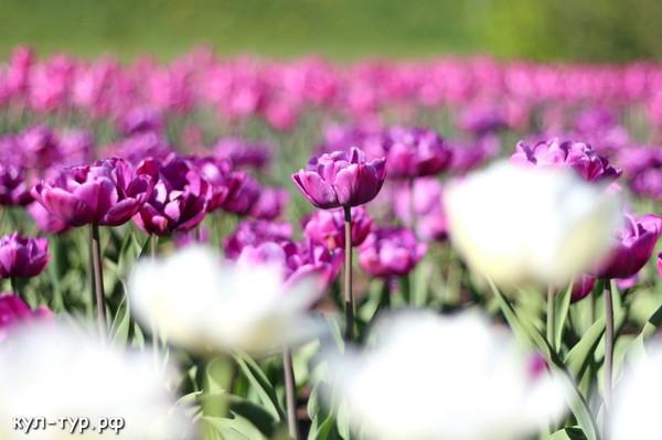 клумба тюльпанов ранние цветы май