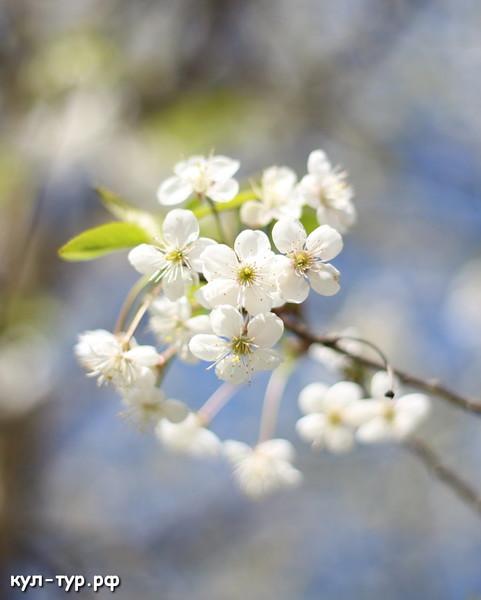 весенние цветы цветущая вишня