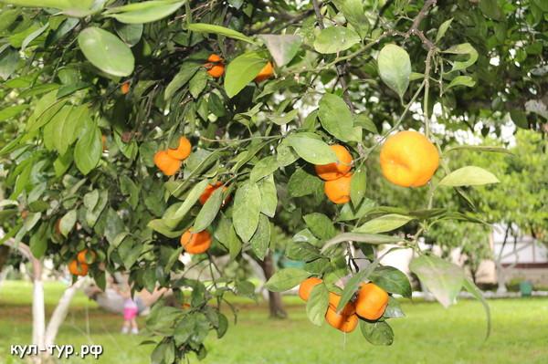 сады Абхазии
