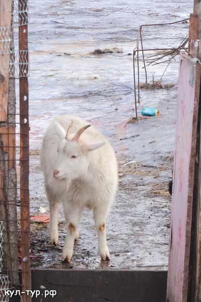 домашние животные козы