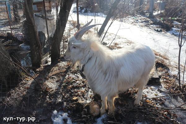 коза хозяйство