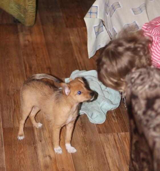 карликовая парода собаки