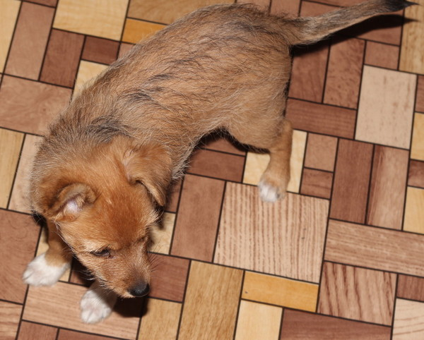 карликовый щенок