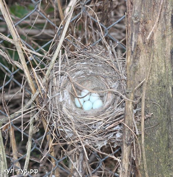 гнездо с яйцами