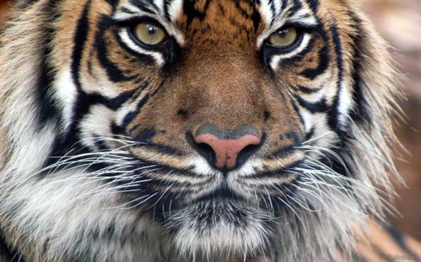 Фото Тигры. ВСЁ О ТИГРАХ