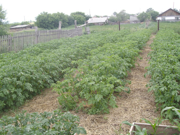 о выращивании картофеля.