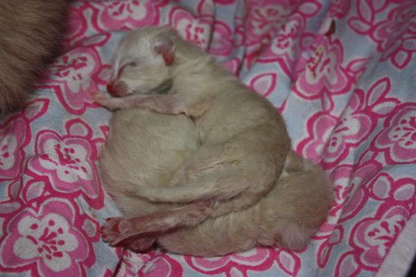 Беременность у невско маскарадной кошки