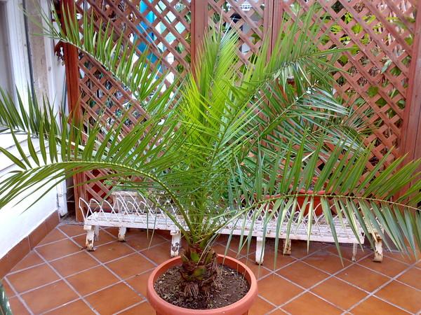 В какой горшок сажать финиковую пальму 90