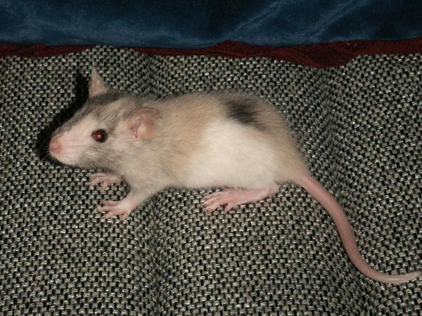Какова цвета бывают крысы фото