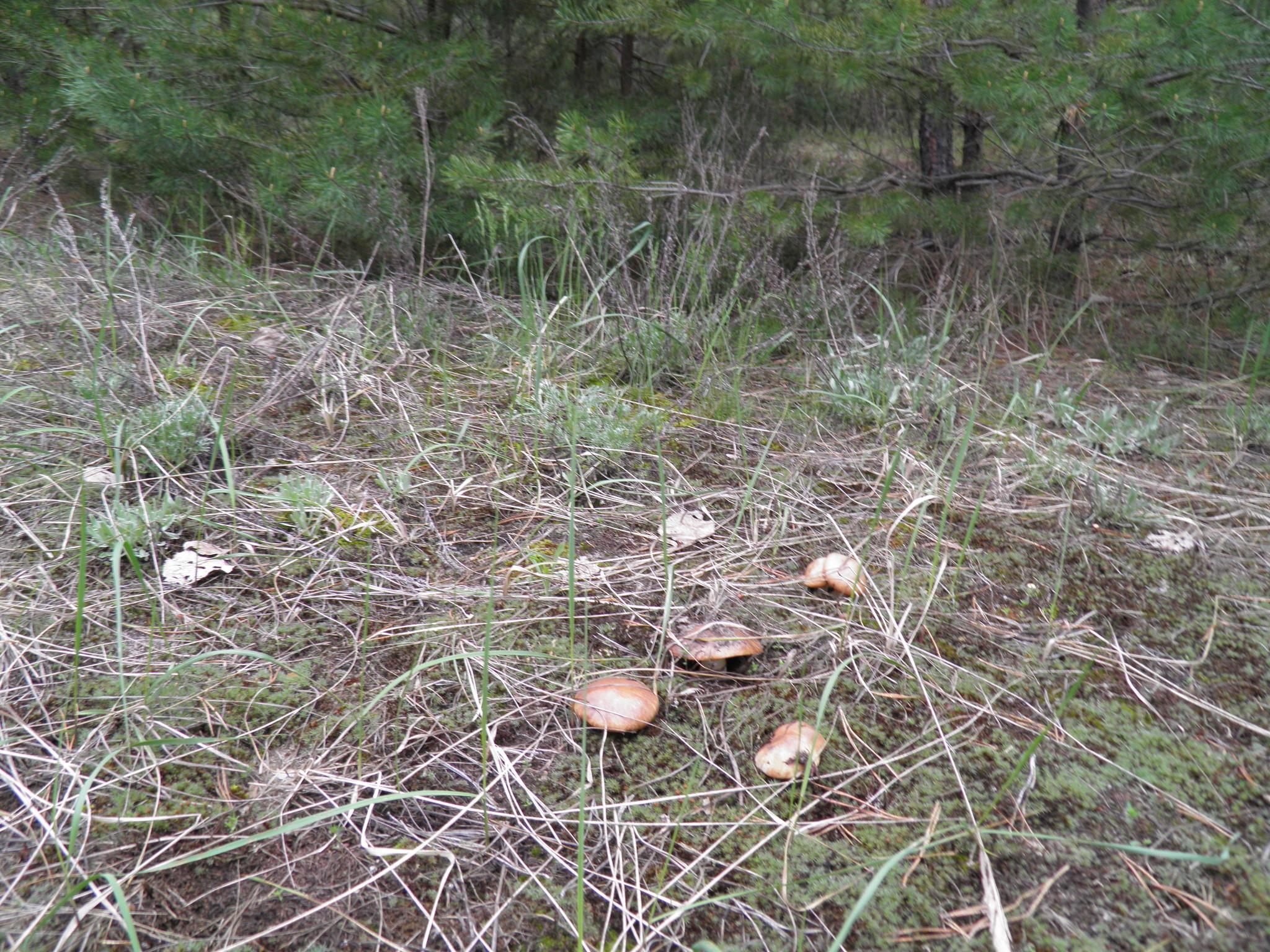 покажу вам съедобные грибы центрального черноземья с фото зависимости ракурса